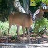 6/21 - Mama Deer