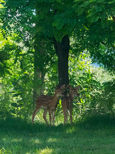 Fawns behind highrise, Leisure World MD