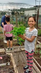 Harvesting lettuce from Nainai's garden