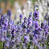 Stop at the Lavender Farm
