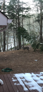 Two Deers In Highland Pointe Home Backyard 12/13/17 01