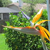 Bird of Paradise, our house, Clearwater, FL, 7/5/2017