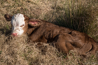 New Calf - 2 days old