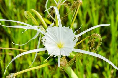Spider lily (Hymenocallis sp.)
