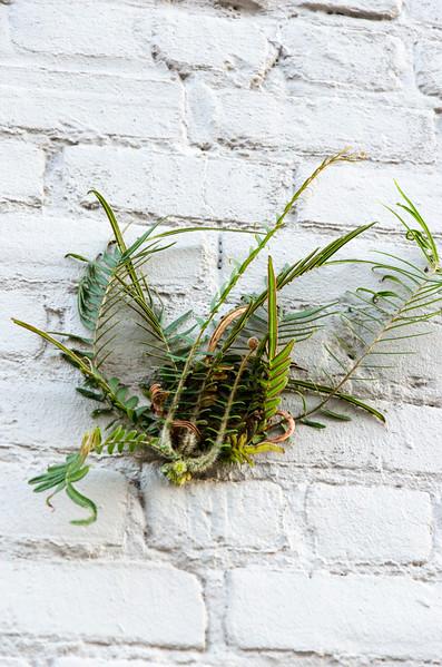 Ladder-brake fern (Pieris vittata), common on masonry in New Orleans and Charleston
