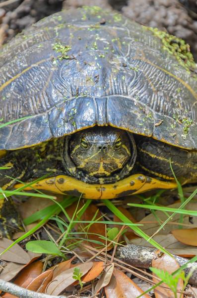 Slider turtle laying eggs