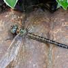 Swamp Darner dragonfly (Epiaeschna heros)