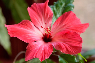 Hibiscus Flowering