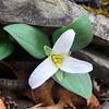Trillium nivale Highland County, Virginia
