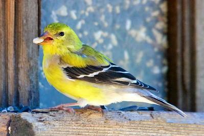 4/7 - Little Yellow Fellow