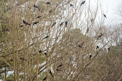 This has been going on all day - dozens of blackbirds in the trees, on the ground, and at the feeders.
