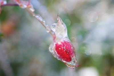1/7 - Rosebud Glacé