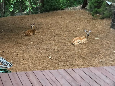 Two Deer Laying In Backyard Highland Pointe Home 8/8/18