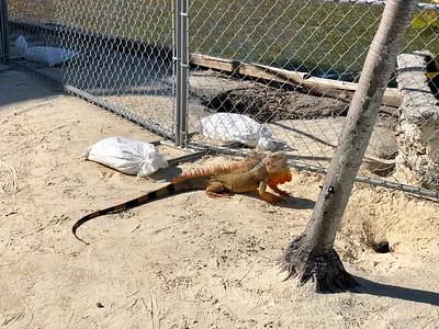 Iguana At Hammocks Resort Marathon Florida Keys January 2018
