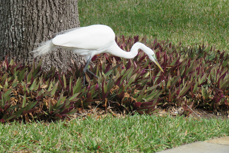 Great Egret or Great White Heron (called both of these names. Our front yard, Clearwater, FL. 1/27/2018