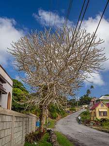 Fragipani tree, Sugar Hill, Barbados