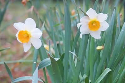 3/18 - Daffodils