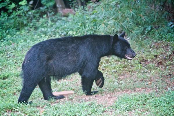 Blairsville Bear