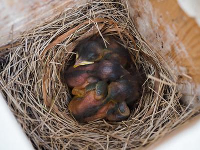 Bluebird hatchlings, Murphy Hanrehan Park Reserve