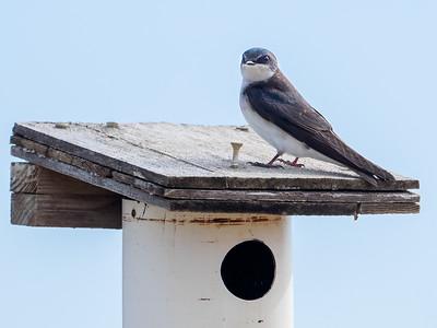 Swallow, Murphy Hanrehan Park Reserve