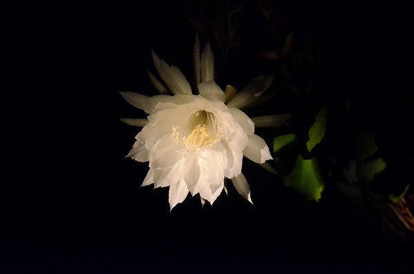 20180716 Night Blooming Cereus