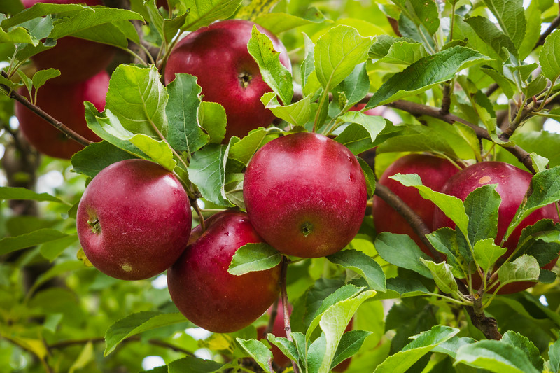 Many Red Apples
