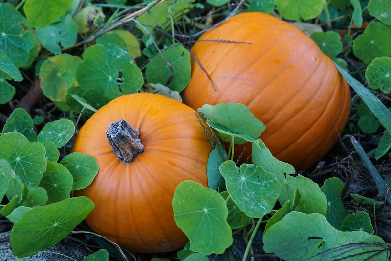 Pumpkins at Pond Farm