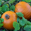 Pumpkins at Pond Farm
