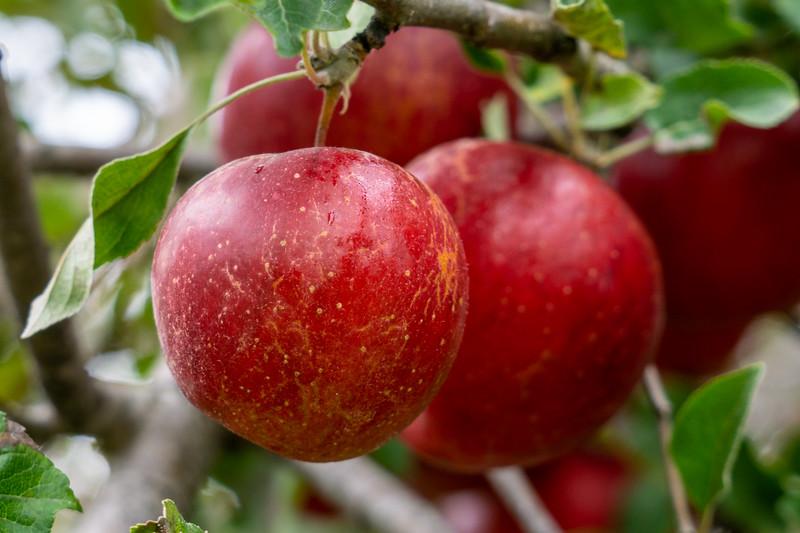 Apple Picking Time!