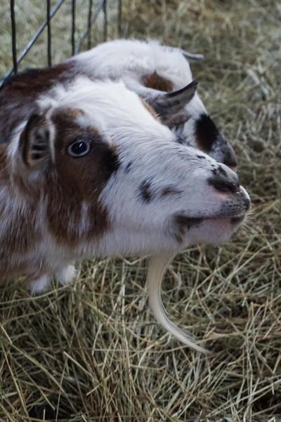 Mr. Goat at Pond Farm