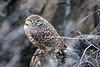 Burrowing owl at Pt. Isabel