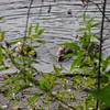 Ducks in one of the little ponds.