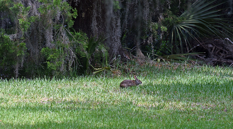Marsh Rabbit 309RR 05-23-19