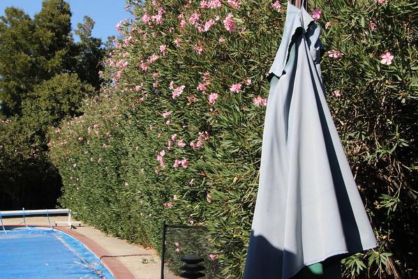 9-2-2015 Oleanders