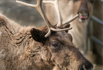 Reindeer photo bomb