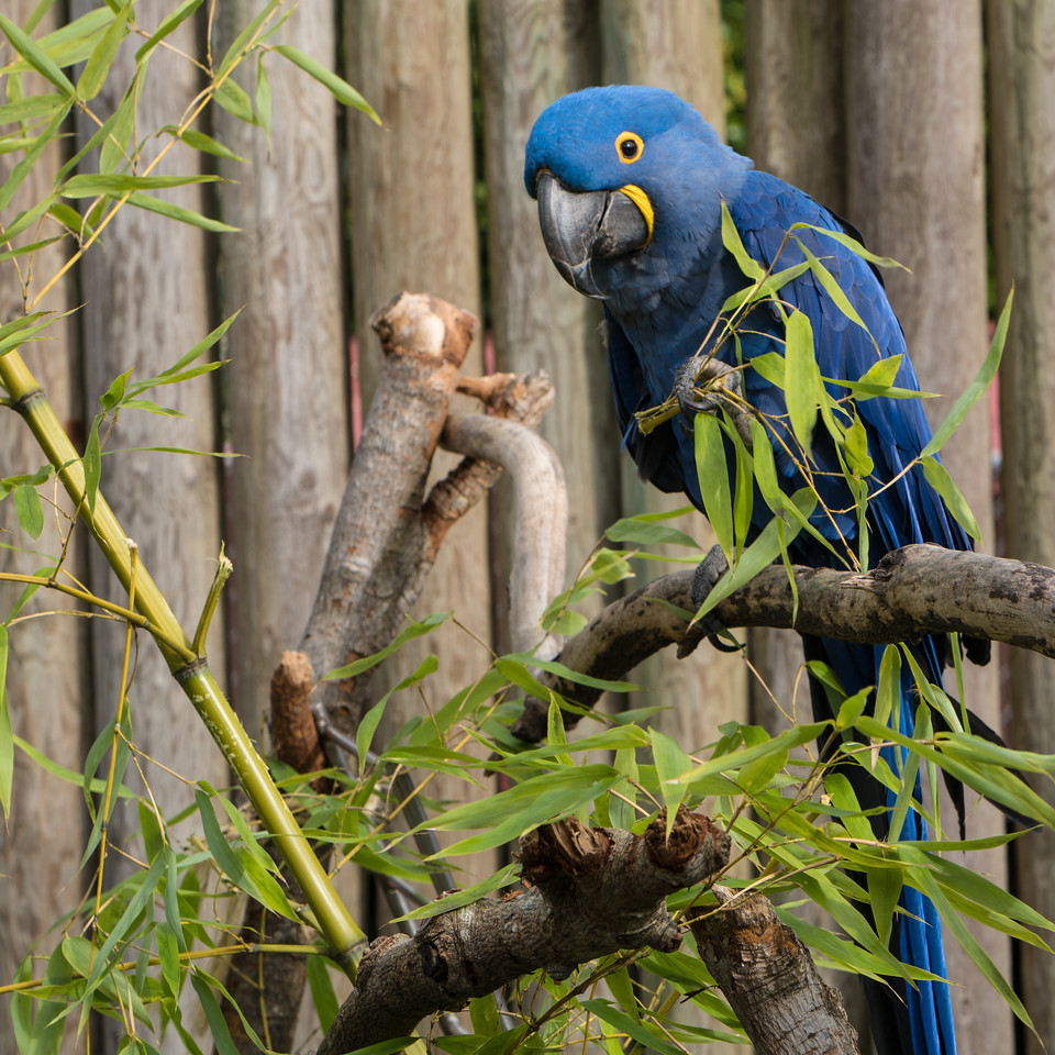 Blue Macaws