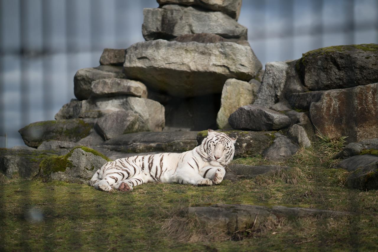 Royal White Bengal Tiger
