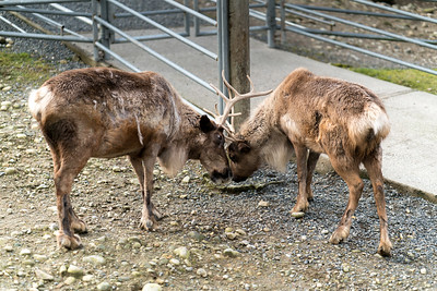 Reindeer antler battles