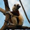 A Coquerel Sifaka (Lemur)