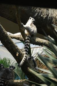 Ring Tailed Lemurs