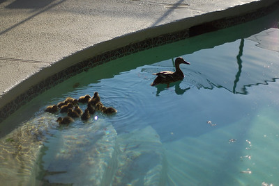 A Duck Story