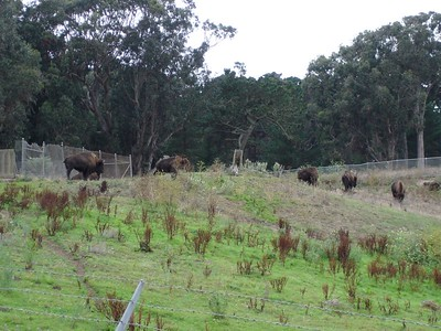 We also went to see the buffalo.