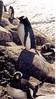 4 penguin cu