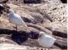 2 seagulls