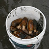 Razor clams in a bucket.