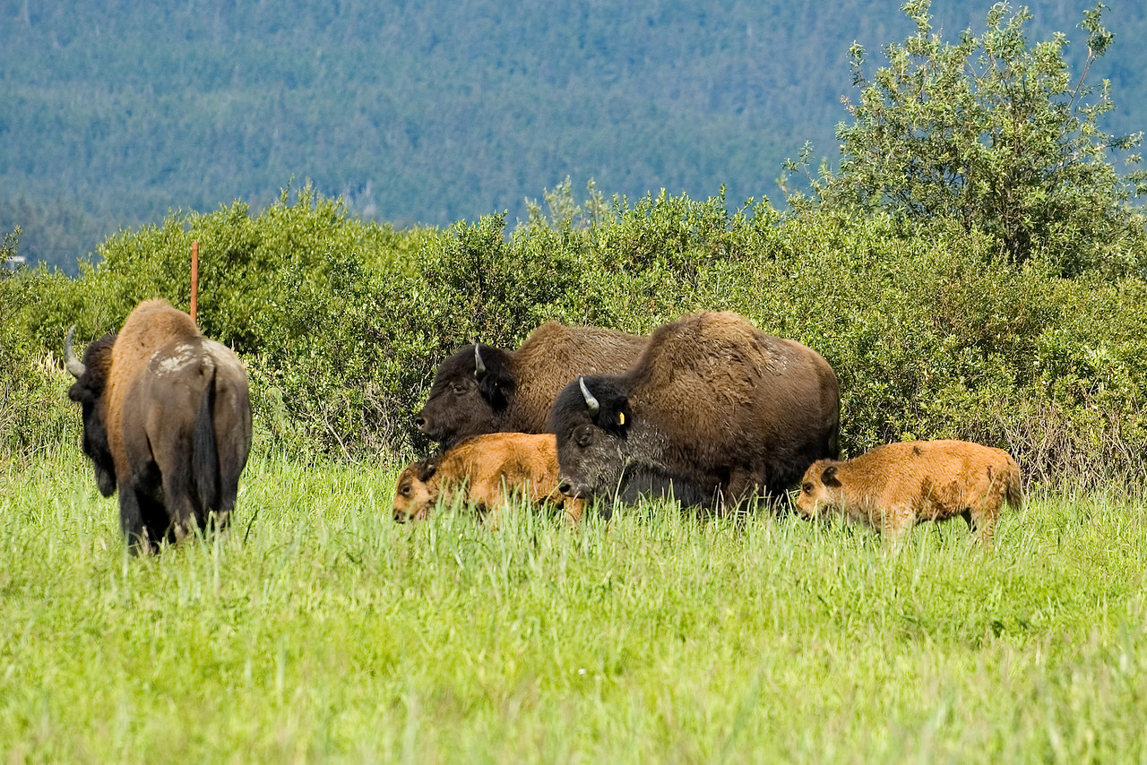 This is a nearly extinct form of Bison that are native to Alaska.  These were thought to be completely extinct, but a few were found and they are now trying to get their population going again.  This picture has two baby bison in it.