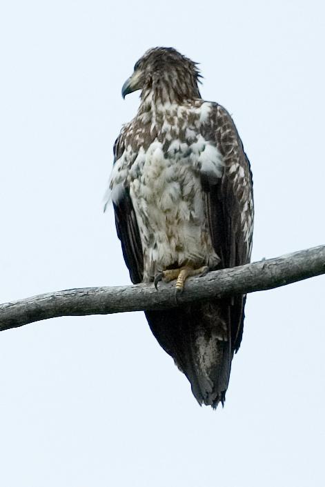 A closeup of the same bald eagle.