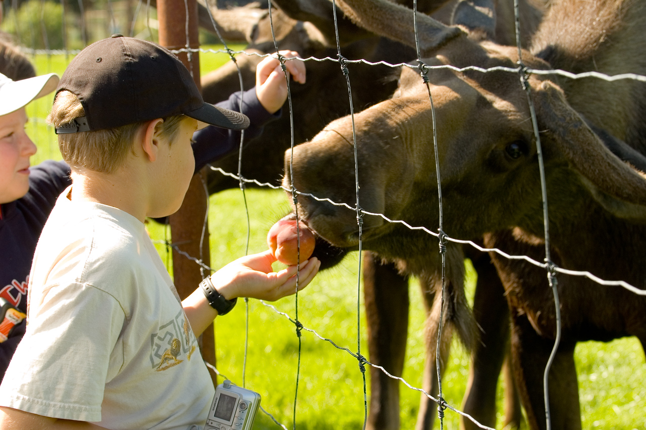 Kevin feeding a moose a piece of fruit.