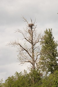 Eagle's nest high up in a dead tree.