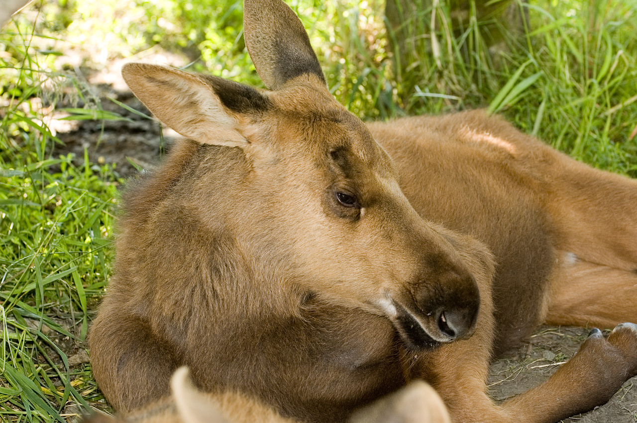 This is a baby moose trying to take a nap in the shade.